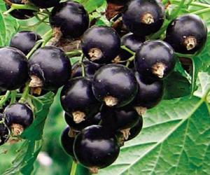 урожай смородины
