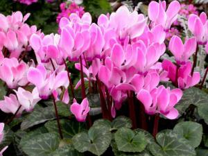 растение цикламен фото