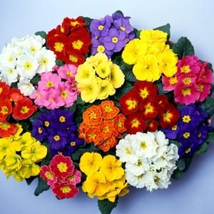 примулы красивые цветы