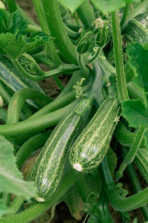 Courgettes (Cucurbita pepo), selective  focus close-up