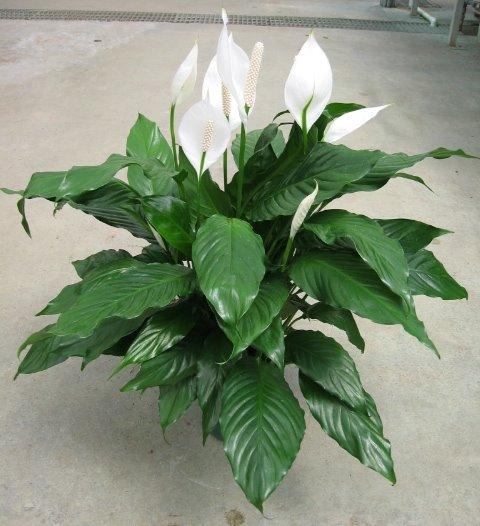 цветок с большими листьями фото