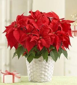 Пуансентия. Рождественский цветок