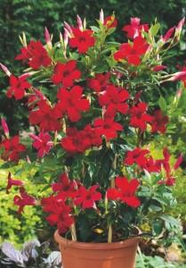 Мандевилла, ее выращивание и уход