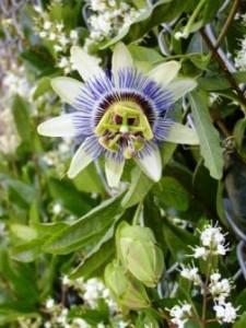 Пассифлора, выращивание и уход