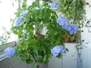 Плюмбаго, уход и выращивание