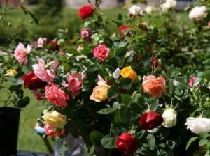 Хранение саженцев роз до посадки