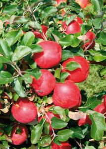 Прививаем груши и яблони