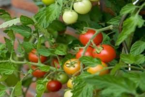 Выращивание помидоров-крошек