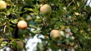Еще о выращивании яблоневого сада