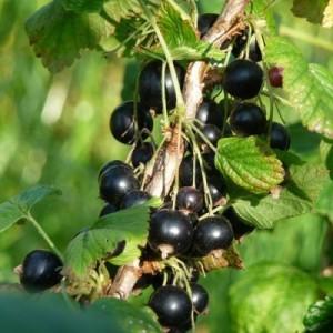 Почему нет ягод на кустах смородины