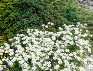 Самые стойкие подушкообразные растения
