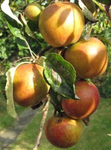 Сохнут и бледнеют листья яблони
