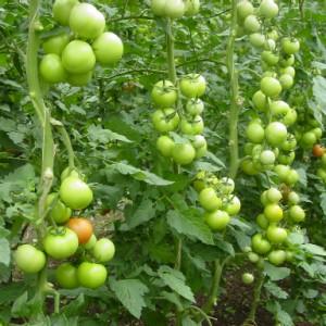 Когда подкормить томаты в первый раз?