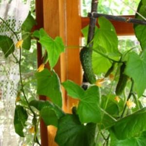 Огурец в квартире - витамины круглый год