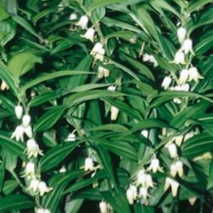 Цветок купена - для тенистых садов