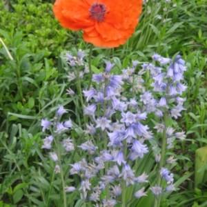Выращивание колокольчика в своем саду