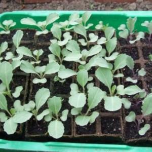 Нужна ли пикировка для рассады капусты