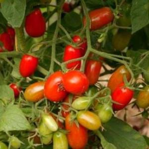 Сеем семена томатов сразу в грунт