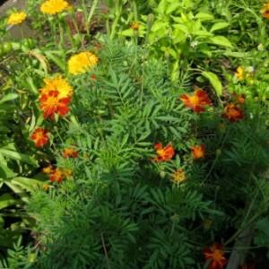 Растения, помощники в отпугивании вредителей