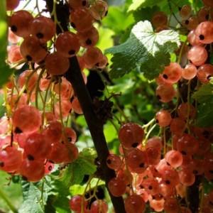 Сильные и здоровые саженцы выращиваем всего за три месяца