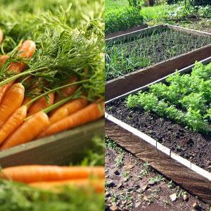 Совет по подготовке грядки для моркови