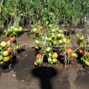 Томаты выращиваем на агроволокне