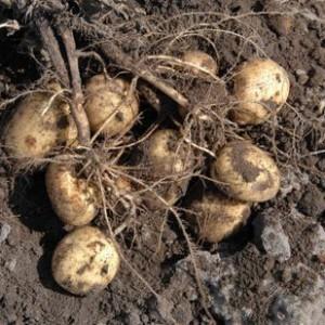 Ускоряем созревание картошечки