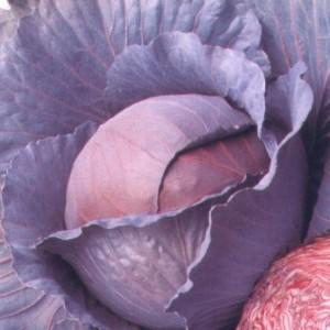 Выращиваем прекрасную, красную капусту