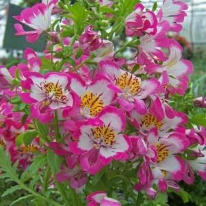 Выращиваем схизантус в своем саду