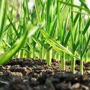 Как повысить урожай чеснока