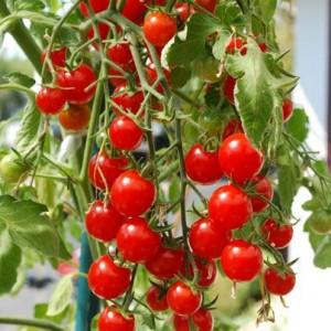 """Почему помидоры вырастают """"деревянными"""""""