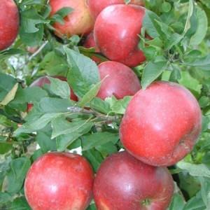 Правильно поливаем яблони