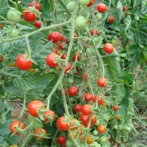 Рассада томатов из пасынков
