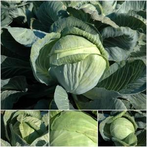 Выращиваем позднюю капусту