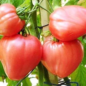 Выращиваем томаты - Бычье сердце.