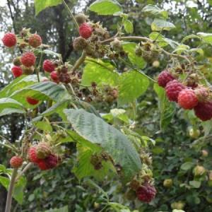 Как снимать с малины вдвое больше ягод