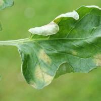 Листья почему то скручиваются на помидорах