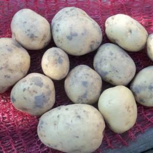 """Новый способ получения картофеля класса """"элита"""" в домашних условиях"""