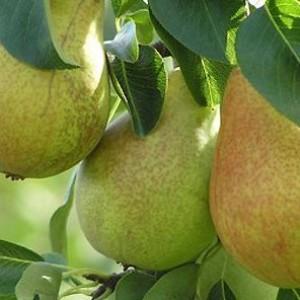 Почему с плодовых деревьев осыпается завязь.