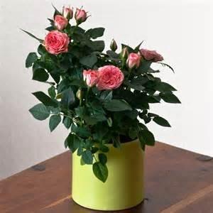 розы в домашних условиях