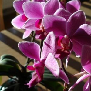 орхидея домашняя цветение