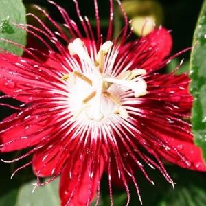 пассифлора красная красивый цыеток
