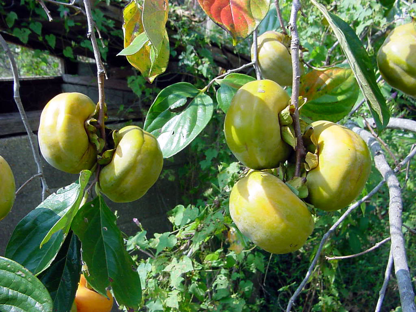 Japanese or Oriental persimmon